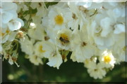 Rosier Rambling Rector