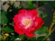 Rosier Fairy Red `92