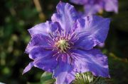 Clematis 'Richard Pennell'